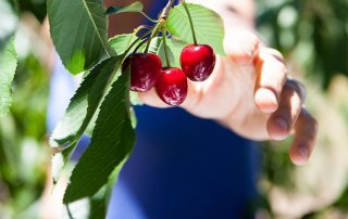 Woman reaching out to pick some cherries